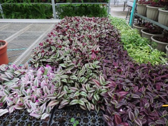 Different colors of wandering jew, soon to be planted in hanging baskets