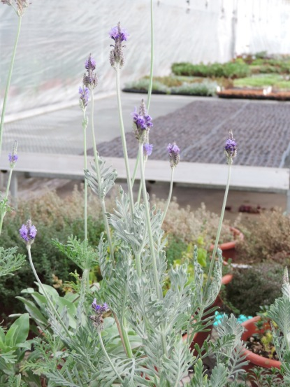 More of that lavender: Lavandula buchii