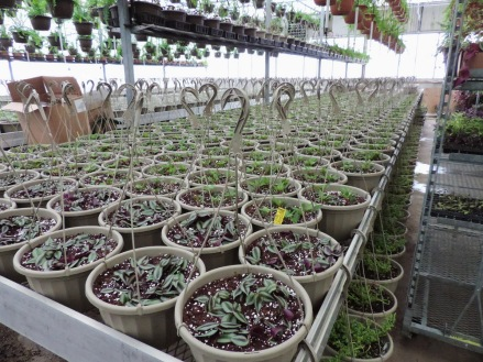 Wandering Jew baskets