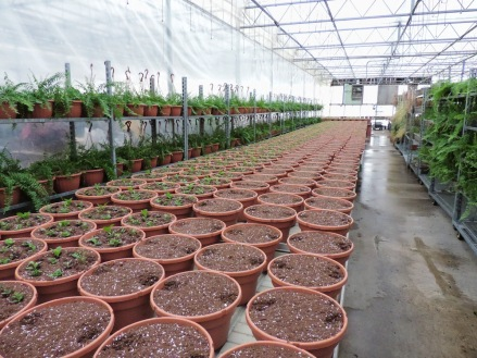 The baskets get lined up on the tables, and the bigger ones get two servings of slow-release fertilizer.