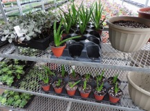 I'm propagating Aloe plants to sell in the herb section this year. I have a few large stock plants that keep sprouting babies; when they're big enough, I separate and pot them up.