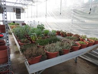 Herb stock plants