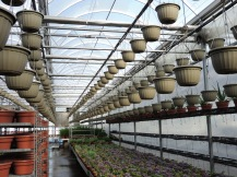 New Guinea impatiens baskets, hung up this week! This section is officially warm enough for that.