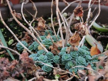 Succulent; the old plant died back this fall and new growth is emerging.
