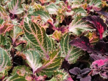 Coleus with very fancy frilly leaves