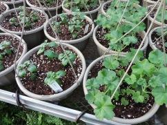 Fuschia and geranium baskets