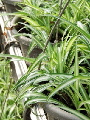 Spider plants in hanging baskets