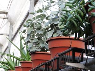 Succulent stock plants