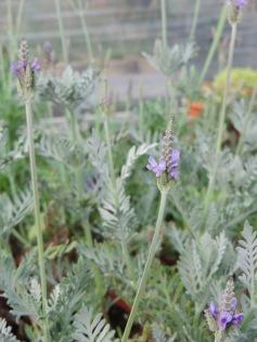 A jagged-leafed lavender, L. buchii