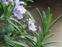Rosemary blooming