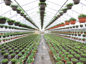 'Overflow' greenhouse, across parking lot, is now full of extra baskets and pansy bowls on drippers.