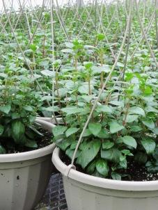 Fuchsia baskets-- getting bigger!