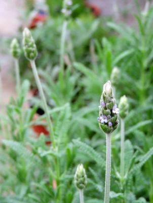 Lavender dentata, aka French lavender, aka toothed lavender