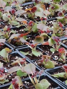 More begonias