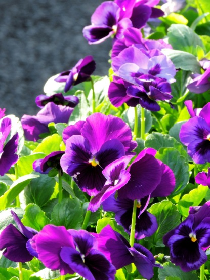 Pansies prefer cooler weather, and are one of the first things we're able to move outside.