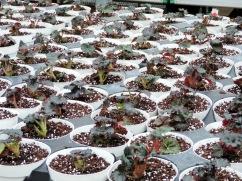 Nonstop begonias