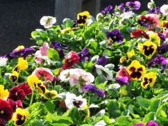 Mixed pansies