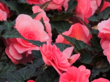 Non-stop begonias, just lovely