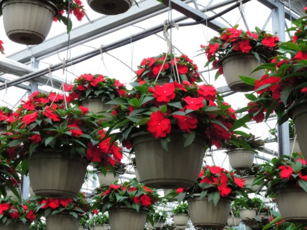 New Guinea impatiens baskets look super right now!