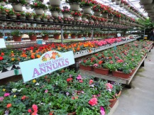 Non-stop begonias in pots and mixed planters
