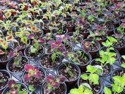 Pots of sun coleus, planted this week.