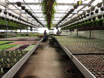 Seed room, now with people for scale! The nearest tables now hold flats of basil, peppers, and flowering vinca.