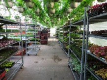 Aisle. Still have lots of cuttings and plugs on carts; everything we plant slowly picks away at all of this.
