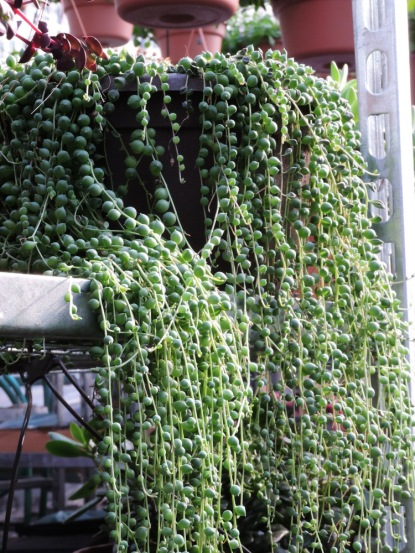 Nifty succulent (String of Pearls)