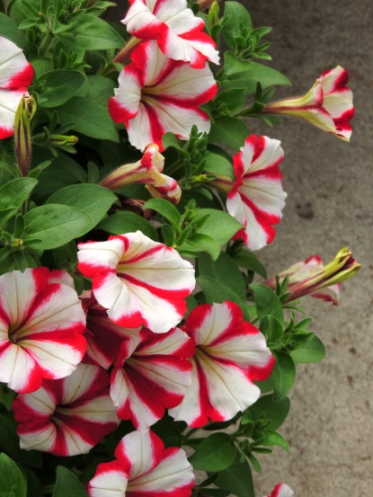 Crazytunia 'Cherry Cheesecake'-- my favorite petunia the last few years!