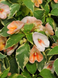 A really neat variegated impatiens