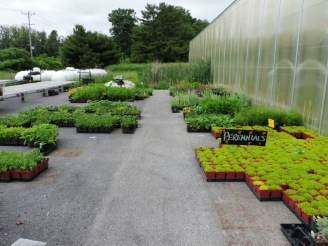 Outside-- Extra perennials for restocking the main display tables.