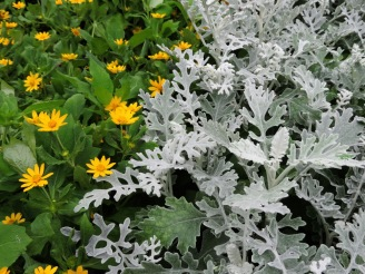 Melampodium and dusty miller