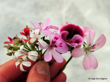 Pelargonium_flower comparison_01